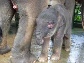 象の赤ちゃん No.1
