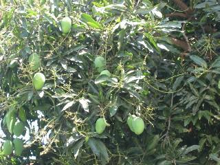 【写真】マンゴーの木