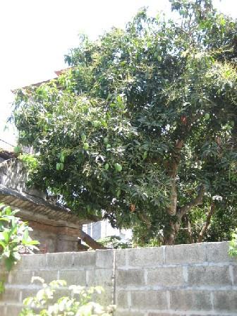 【写真】庭のマンゴーの木