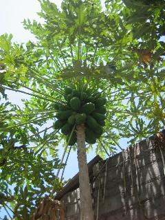 【写真】パパイヤの木